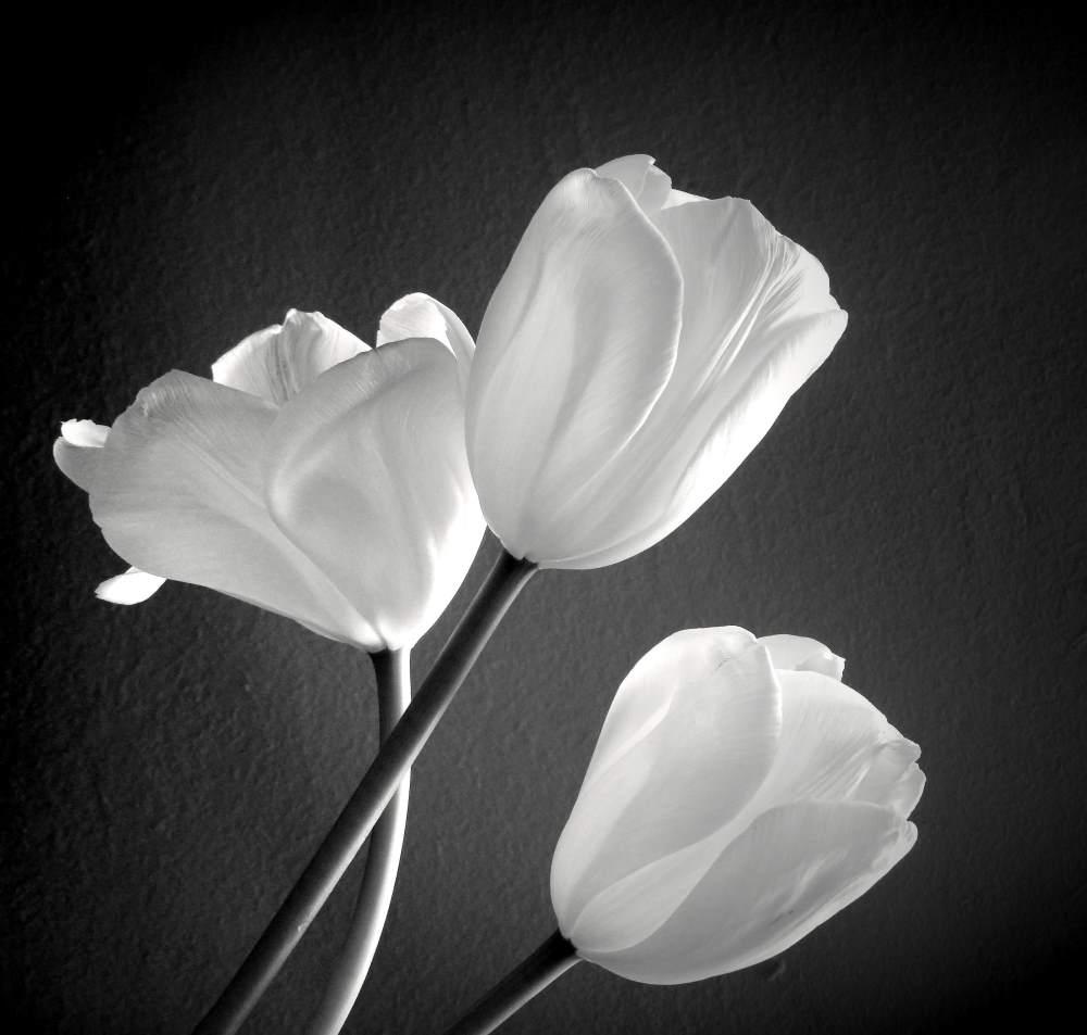 Tuli-Tuli-tulipan